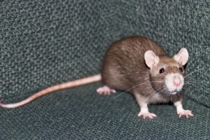 Are their rats in your home? home inspection