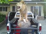 """One of the Kings """"Lion"""". Lol."""
